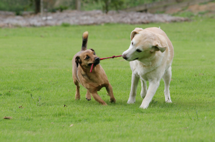 2 dogs playing tug